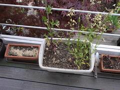 20160416garden008 (detsugu) Tags: garden rocket radish   20160416