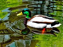 Mallard reflections (peggyhr) Tags: canada male water vancouver reflections duck pond bc mallard mothernature dabbler beautifulnature thegalaxy 50faves supershots flickrbest peggyhr naturestyle naturelovesyou thegalaxyhalloffame niceasitgets~level1 frameit~level01~ rainbowofnaturelevel1red musictomyeyes~l1 ♣mothernature level2platinumpeaceaward level1peaceawardsp1 dsc04468a
