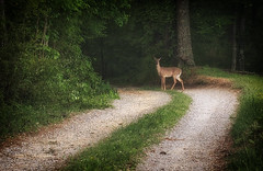 Beauty (TuthFaree) Tags: road green nature fauna forest ga georgia woods deer elements whitetail