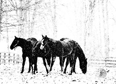 Spring... white (firstlookimages.ca) Tags: horses blackandwhite bw white snow detail art nature monochrome weather blackwhite spring artistic action digitalart snowing snowfall contrasts digitalphotography digitalmanipulation artisticmanipulation