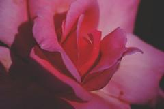 Rosy (Alvin Harp) Tags: pink flower macro rose artistic september 2015 macrounlimited teamsony sonyilce7rm2 fe2890macrogoss alvinharp