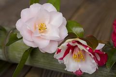 2016 Spring Season Tour Of Kyoto (caz76KOBE) Tags: japan canon garden landscape temple eos 50mm spring kyoto   cherryblossoms macrolens  carlzeiss  macroplanar  eos6d reikanji mp50 carlzeissmakroplanart250ze 2016spring  2016kyoto 2016caz76