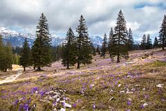 The arrival of spring (Maruša Žerjal) Tags: mountains nature spring purple hiking violet crocus fields velikaplanina pomlad zefran