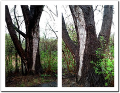 TWO PHOTOS OF THE TREE TEXTURE (Visual Images1) Tags: two tree wet rain diptych ipiccy