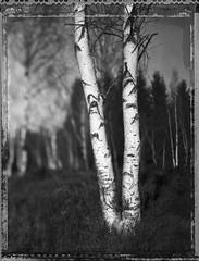 Twin (Bastiank80) Tags: polaroid twin 4x5 birch 51 largeformat roidweek bastiank