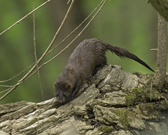 American Mink (Zone~V) Tags: water wildlife american mink wma sloughs