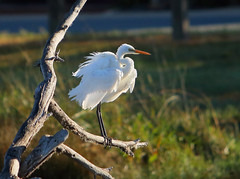 Fluffed up Eastern Great Egret (NathanaelBC) Tags: lake bird water pond native australia canberra wetland cbr