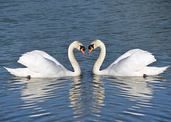 Swans (Terry (notwildlife)) Tags: uk bird swan muteswan