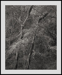 (Gibbom) Tags: park trees monochrome wales forest spring snowdonia larch