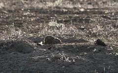 Burrowing Owl In Burrow (fethers1) Tags: bird owl burrowingowl coloradowildlife rockymountainarsenalnwr rmanwrwildlife