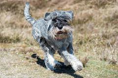FAN_8700.jpg (Flemming Andersen) Tags: dogs water animal seaside spring outdoor hund vodka hurup lodbjerg helligsvej hebojebi