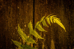 Patterns in brown and green (raylincoln1) Tags: wood plants fern fence sony a65