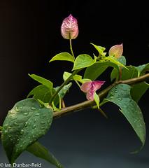 Pink and Green Portrait (idunbarreid) Tags: bougainvillea