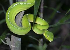 Green Python - Morelia viridis (Wildsearch) Tags: pose morelia snake qld reptiles ambush behaviour ironrange spilota greenpython