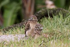 Siblings (Seventh day photography.ca) Tags: bird animal unitedstates wildlife raptor owl wildanimal predator birdofprey burrowingowl carnivoreflorida