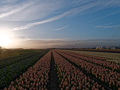 Lisse (Kronemans) Tags: netherlands nederland lisse bollenveld bollenstreek