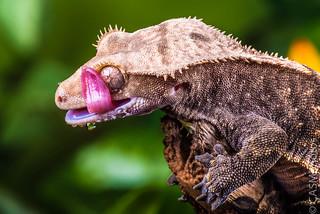 Crested Gecko (Correlophus Ciliatus).