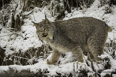 An Engaged Lynx (brucefinocchio) Tags: alaska mammal haines bigcat lynx lynxinsnow kroschelwildlifecenter anengagedlynx