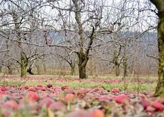 Apple Orchard (KaDeWeGirl) Tags: county trees winter red apple pennsylvania bare branches centre orchard dormant