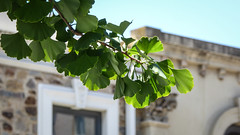 Rundle Gingko (Theen ...) Tags: blue trees sky building green lumix healthy branch adult spray adelaide gingko brownstone bluestone architrave rundlestreet theen