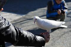 20151219-DSC_4457.jpg (d3_plus) Tags: street autumn autumnfoliage sky bird fall nature animal japan nikon scenery shrine pigeon dove kamakura daily autumnleaves  streetphoto 28105mmf3545d  nikkor      dailyphoto touring   thesedays    28105   28105mm   holyplace   zoomlense  ancientcapital     28105mmf3545 d700 281053545 kanagawapref nikond700 aiafzoomnikkor28105mmf3545d  28105mmf3545af aiafnikkor28105mmf3545d