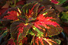 Red Coleus (http://fineartamerica.com/profiles/robert-bales.ht) Tags: pink red people plants plant flower color green nature floral beautiful closeup garden botanical photo leaf flora colorful houseplant blossom vibrant decorative painted violet lila foliage attractive vegetation bloom variegated projects colourful multicolored botany ornamental planter nettle horticulture coleus haybales blooming plectranthus lamiaceae cultivated selectman cultivar flamboyance scutellarioides forupload robertbales scurellarioides blossomingexterior