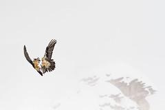 Lammergeier, aerial fight during courtship (tomnierle) Tags: oiseaux rapaces gypatebarbu coldelagemmi0214