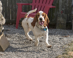 IMG_6138 (BFDfoster_dad) Tags: hound basset