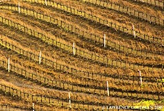Winter Vineyard Rows at Opolo Vineyards near Paso Robles, California (lhg_11, 2million views. Thank you!) Tags: california nature landscape centralcoast