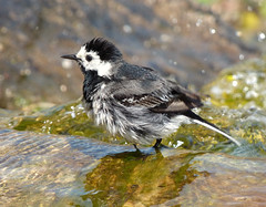 Pied Wagtail (Peanut1371) Tags: white black bird water grey piedwagtail wagtail nationalgeographicwildlife