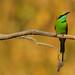 Green Bee-eater, Merops orientalis in Huai Kha Khaeng