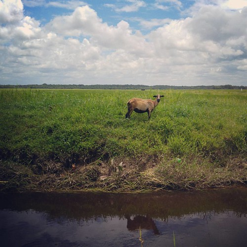 #sheep #pasture #outdoors #landscape #LG #G4 #Essequibo #Guyana #Free #curry #photowalk #photgraphy #mobilephotography #cellpic #freedom #blueskys