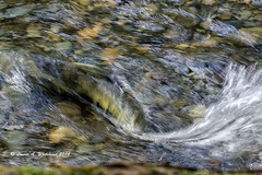 Motion (Migrating Salmon) (wildcatlou) Tags: motion nature creek outdoors wildlife salmon splash lateautumn mcleancreek