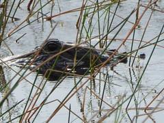 Watching (dramadiva1) Tags: usa eye wildlife alligator everglades territorial