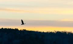 Eagle Sunset (cwhitted) Tags: sunset canon eos eagle baldeagle chathamcounty jordanlake canoneos400d canoneosdigitalrebelxti canonef28135mmisusm ebenezerchurchrecreationarea beverettjordanlake