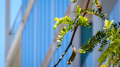 Green Leaves on Glass (Theen ... busy) Tags: city blue sky building green leaves lumix soft bokeh background cream foliage adelaide seedpods northterrace theen glaass