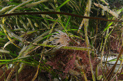 Seagrass and seaweeds with squirts and anemones in the Sound of Barra