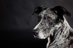 Portrait of Quinn (Jen St. Louis) Tags: dog pet ontario canada studio elmira greatdane pawprints dogphotography petportrait petphotography dogportrait nikon2470 jenstlouis nikond750 wwwpawprintsphotosca