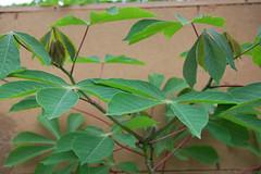 Cassava shoots (IITA Image Library) Tags: nigeria cassava iita manihotesculenta cassavashoots