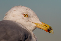 Portrait of a Herring Gull (tresed47) Tags: birds us newjersey gull content places folder takenby herringgull 2016 peterscamera petersphotos canon7d 201602feb 20160202newjerseybirds barnegatlightsp gullunidentified