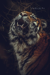 Like a picture in a fairytale book (Cynthia ten Bras) Tags: cats cat canon mammal wildlife tiger bigcat mammals siberiantiger amurtiger wildlifephotography felinae canonefs55250mm canoneos600d