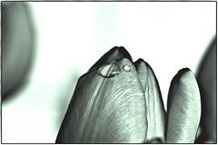 The notion of the ocean is unified in one waterdrop (ahmBerlin) Tags: nature waterdrop natur pflanze frame tulip flare droplet blume wassertropfen tropfen tulpe fotorahmen