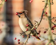 waxwing (Bombycilla) (daves wildlife photos) Tags: tree bird berry berries wildlife waxwing bombycilla