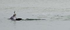 Gulf Fine Dining (gatorgalpics) Tags: gulfofmexico feeding bottlenosedolphin sarasotabeach gulffinedining