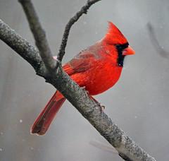 Cardinal (carpingdiem) Tags: winter birds cardinal indianapolis