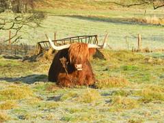 """I prefer the sunshine"", Heilan Coo(Highland Cow), Dulnain Bridge, Strathspey, Jan 2016 (allanmaciver) Tags: bridge sunshine animal scotland cow frozen horns special highland enjoy fields rest breed coo heilan strahspey dulnain allanmaciver"