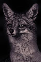 Gray Fox (Cruzin Canines Photography) Tags: wild portrait blackandwhite nature animal animals closeup canon mammal zoo wildlife naturallight canine calm telephoto fox wildanimal tamron naturepreserve califorina grayfox californialivingmuseum 5ds canon5ds eos5ds tamronsp150600mmf563divcusd canoneos5ds