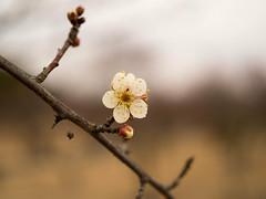 P2063519 (hiroki.yano) Tags: japanese apricot