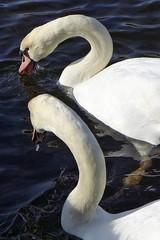 in der Rheinaue in Bonn (mama knipst!) Tags: swan bonn natur schwan rheinaue