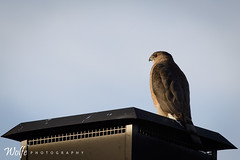 cooper hawk enjoying the sunset (Aaron_Smith_Wolfe_Photography) Tags: mountains hawk nevada sierra redeye carsoncity